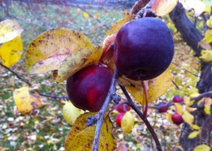 Late fall apples